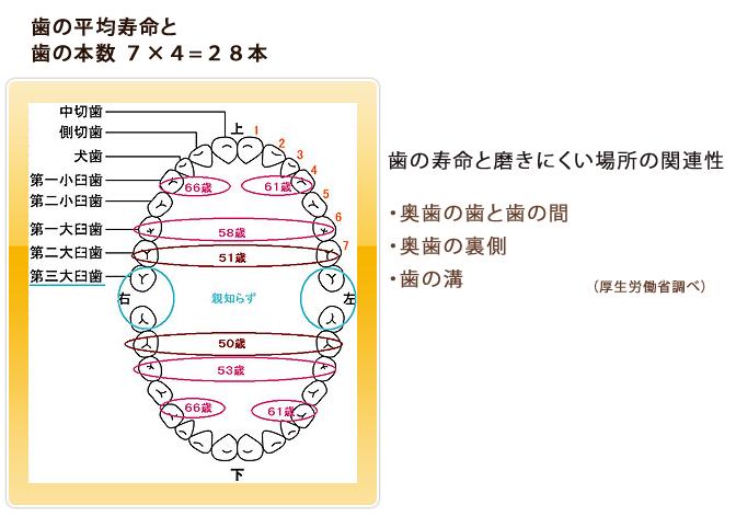 歯の平均寿命と歯の本数
